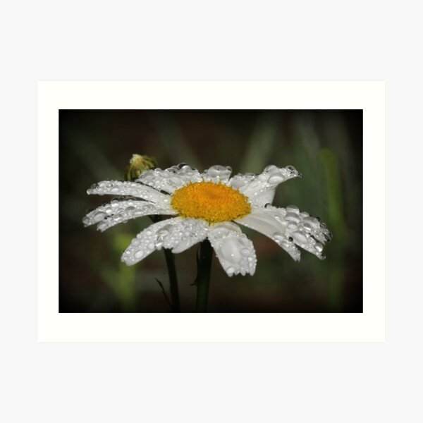 Daisy with dew drops Art Print