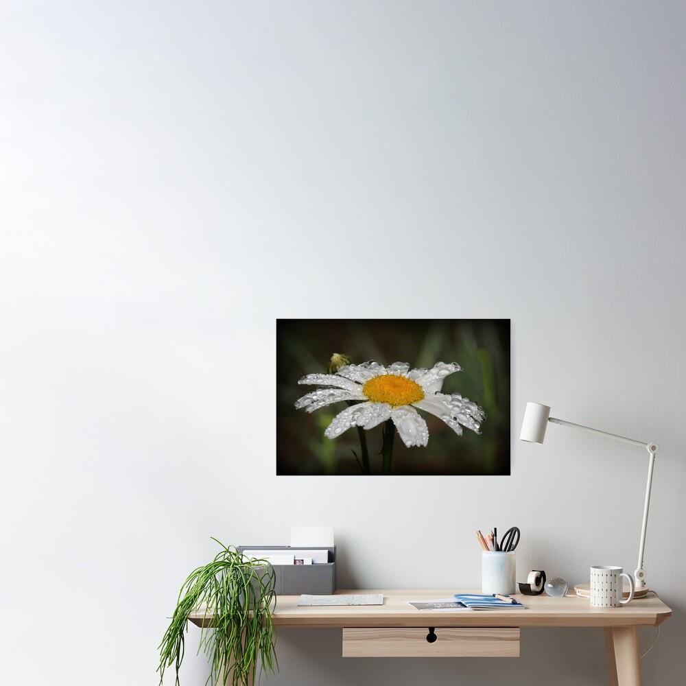 Daisy with dew drops Poster