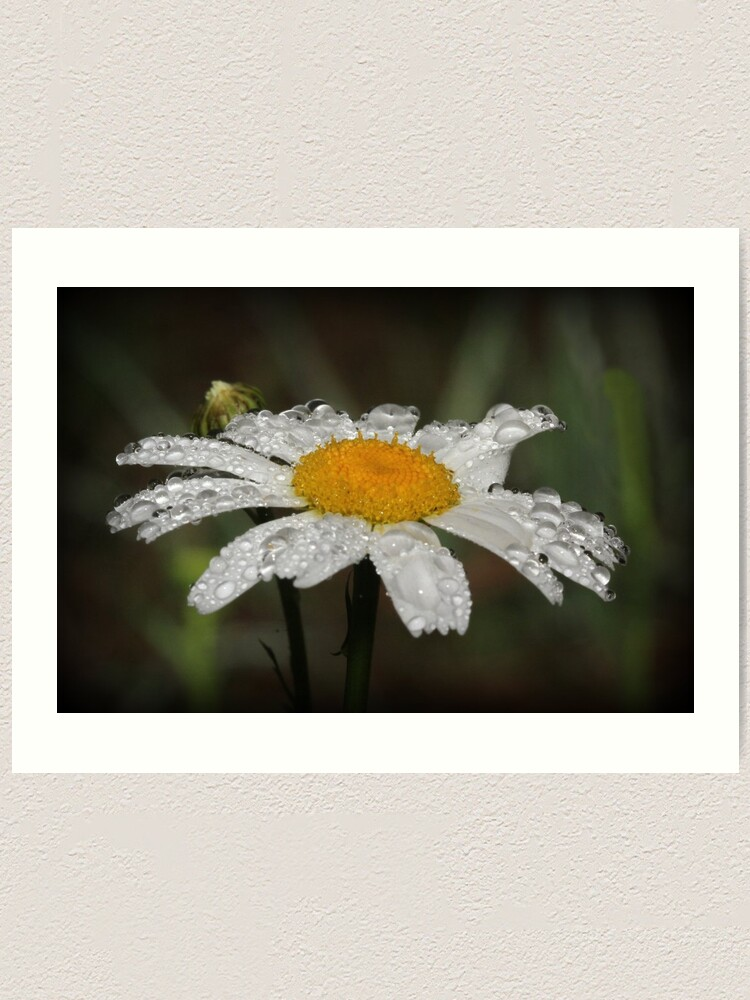 Alternate view of Daisy with dew drops Art Print