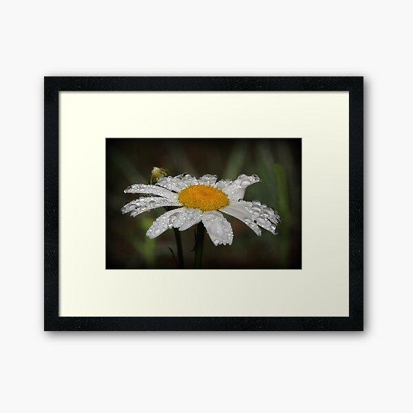 Daisy with dew drops Framed Art Print