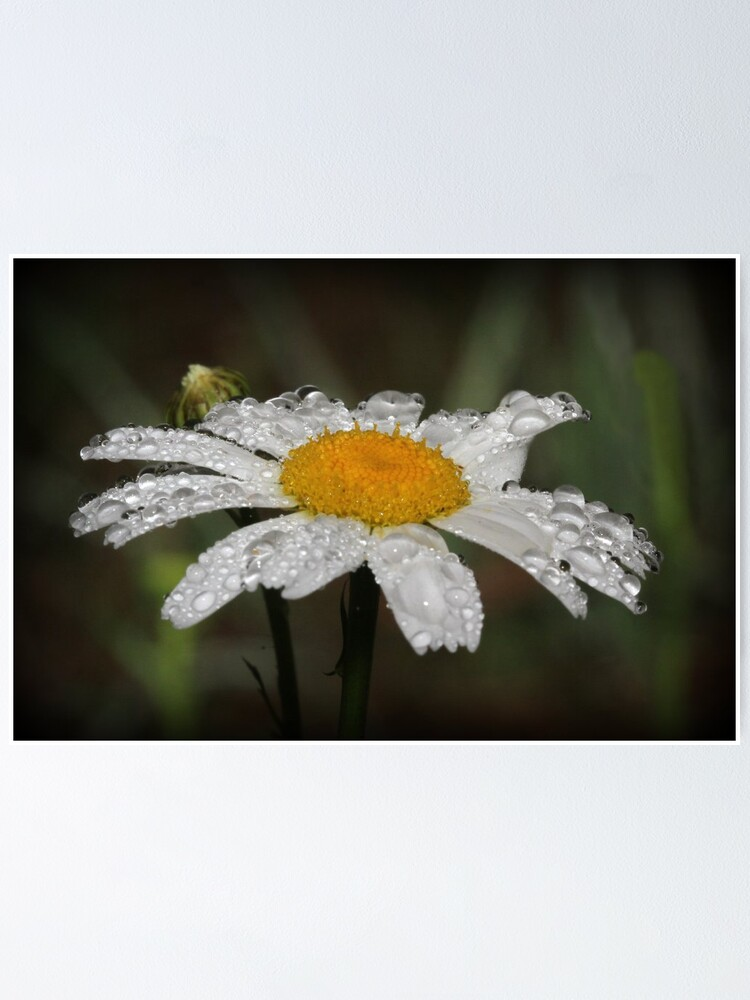 Alternate view of Daisy with dew drops Poster