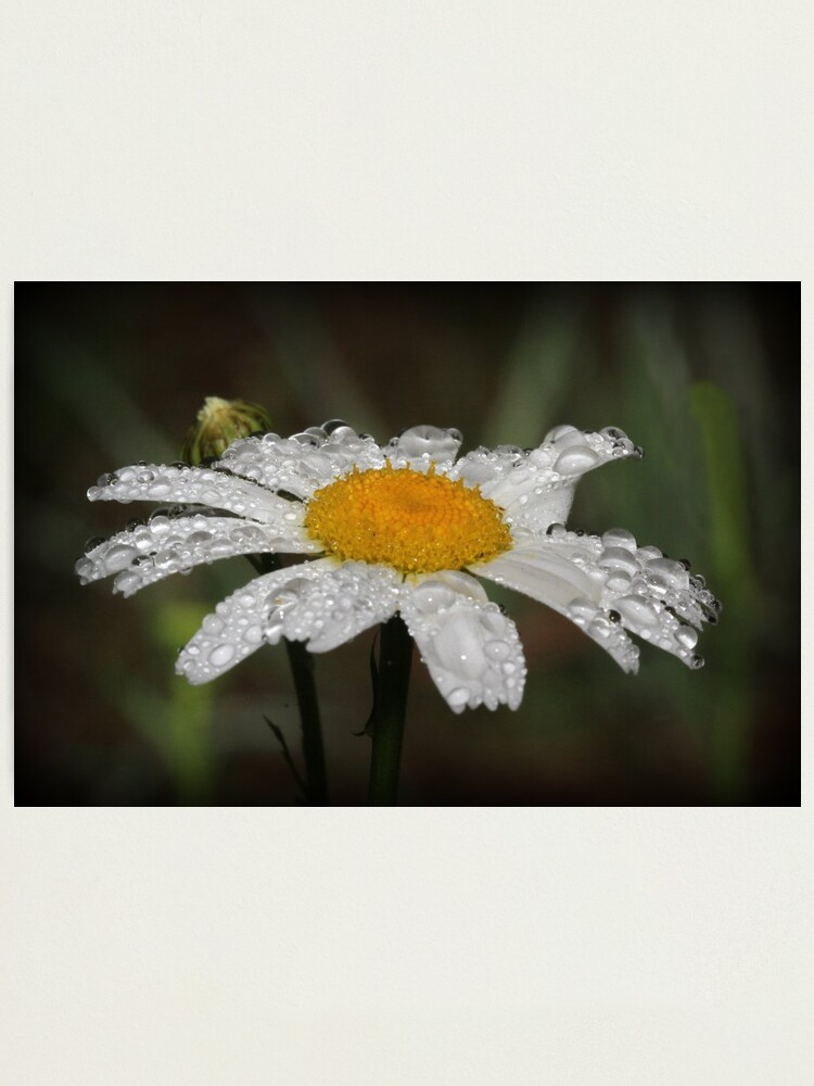 Alternate view of Daisy with dew drops Photographic Print