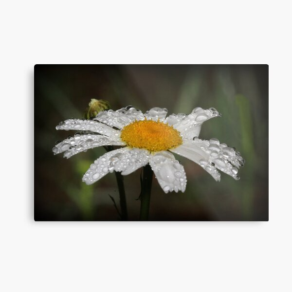 Daisy with dew drops Metal Print