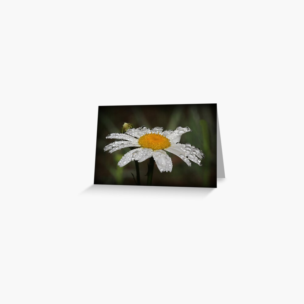 Daisy with dew drops Greeting Card