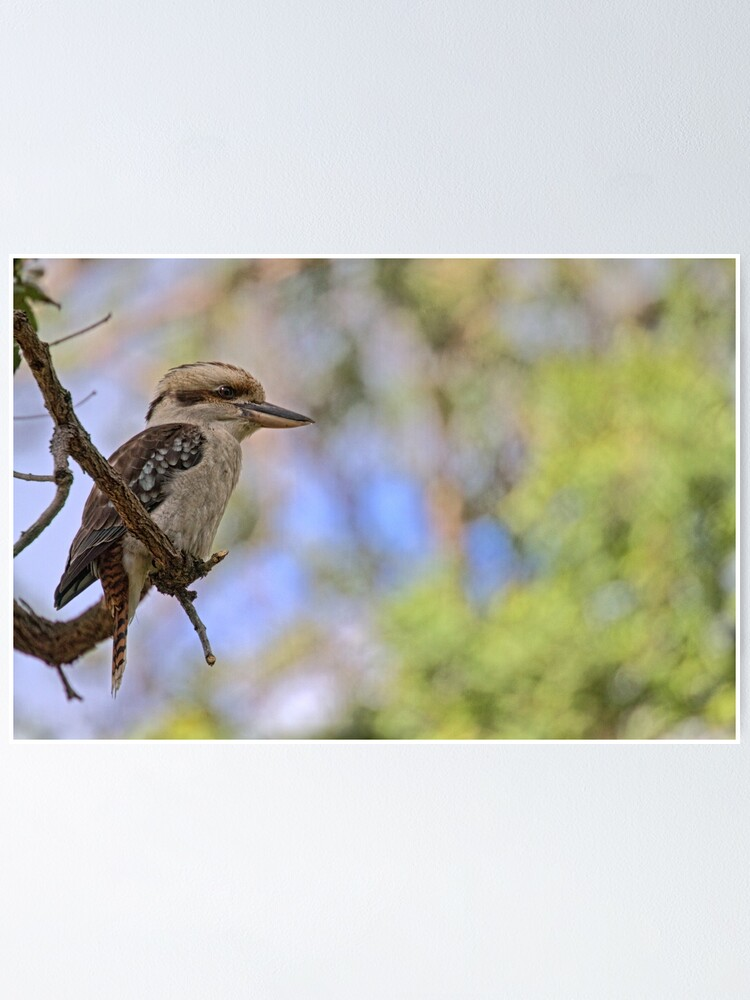 Alternate view of Kookaburra Watching Poster