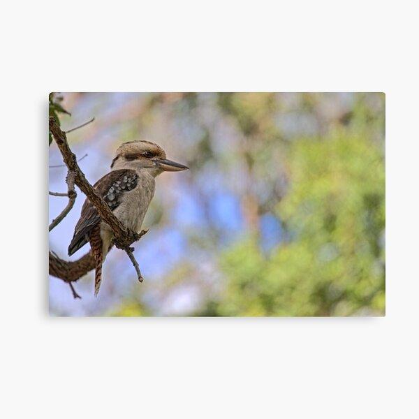 Kookaburra Watching Canvas Print