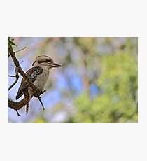 Kookaburra Watching Photographic Print