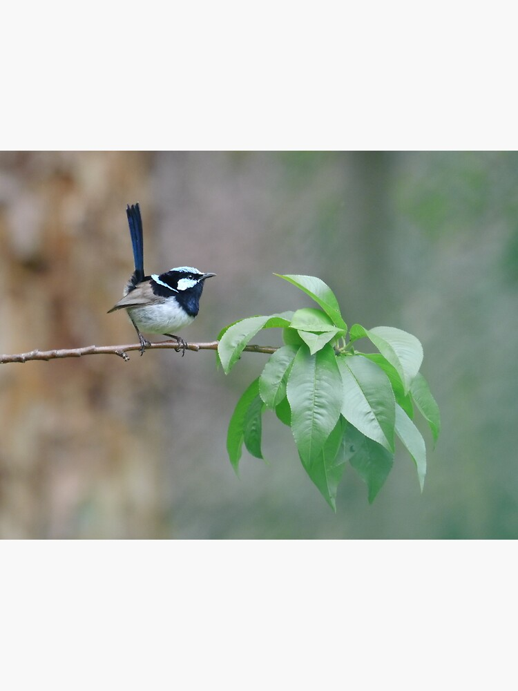 Male Superb Fairy Wren on a Peach Branch by theoddshot