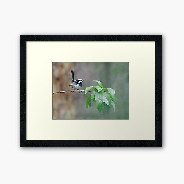 Male Superb Fairy Wren on a Peach Branch Framed Art Print