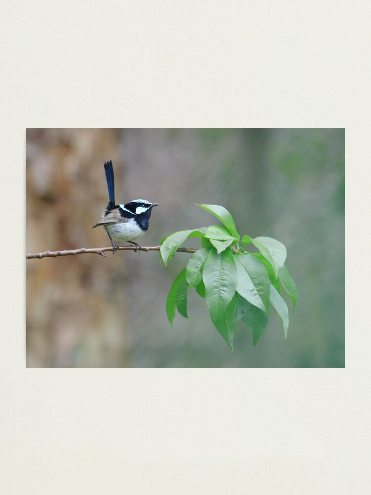 Alternate view of Male Superb Fairy Wren on a Peach Branch Photographic Print