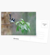 Male Superb Fairy Wren on a Peach Branch Postcards