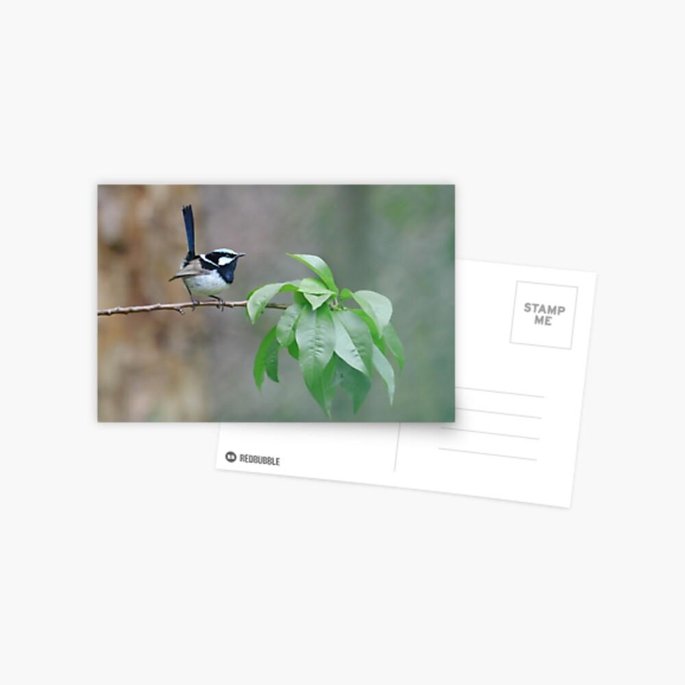 Male Superb Fairy Wren on a Peach Branch Postcard