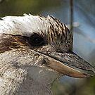 Kookaburra Portrait by Trevor Farrell