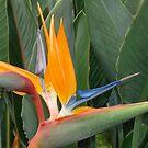 Bird of Paradise by reneecettie