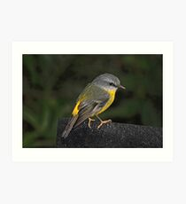 Eastern Yellow Robin Art Print