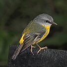 Eastern Yellow Robin by Trevor Farrell