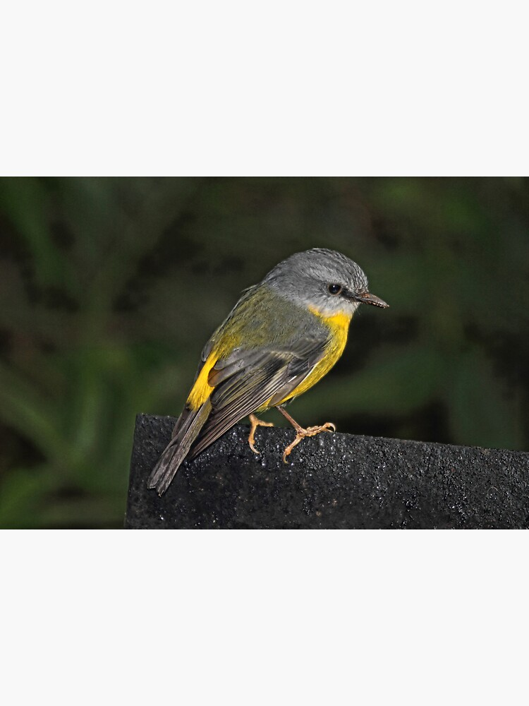 Eastern Yellow Robin by theoddshot