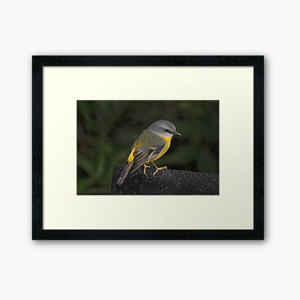 Eastern Yellow Robin Framed Art Print