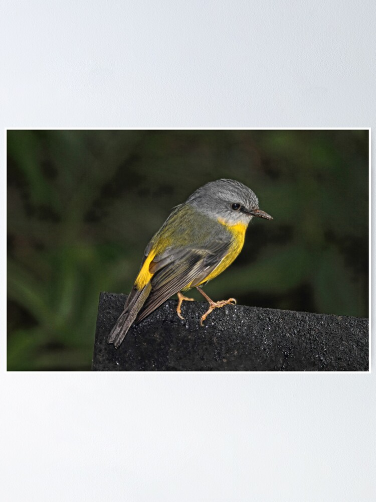Alternate view of Eastern Yellow Robin Poster