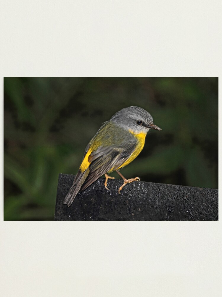 Alternate view of Eastern Yellow Robin Photographic Print