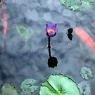 Water Lily in Koi Pond by reneecettie