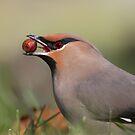 Bohemian Waxwing Berry Grabbing Closeup. by Daniel Cadieux