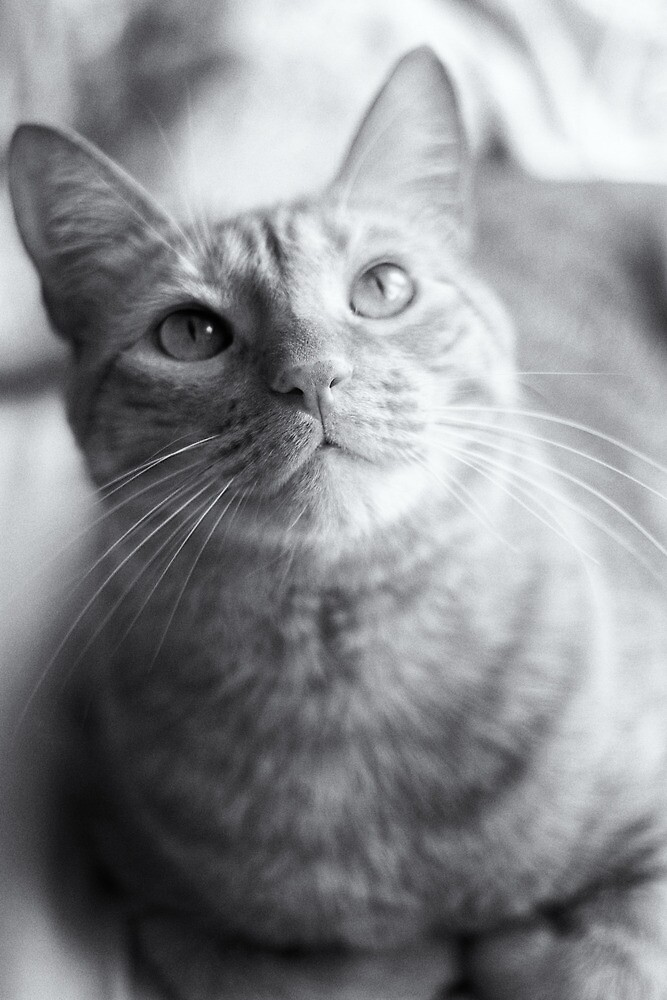 Tabby Cat by Arkadiy Chernov