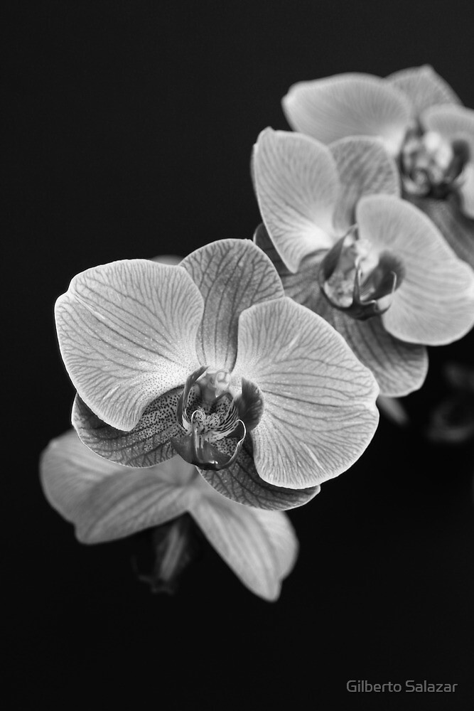 Orchids Black & White by Gilberto Salazar