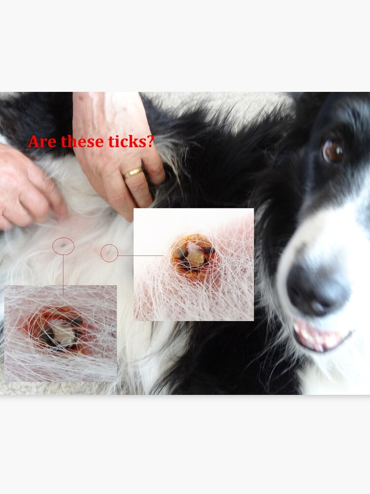 Are These Ticks? - No, Not botfly larve either - But Conact Allergy, Turned  Dog Scabs, Turned Infected! | Canvas Print