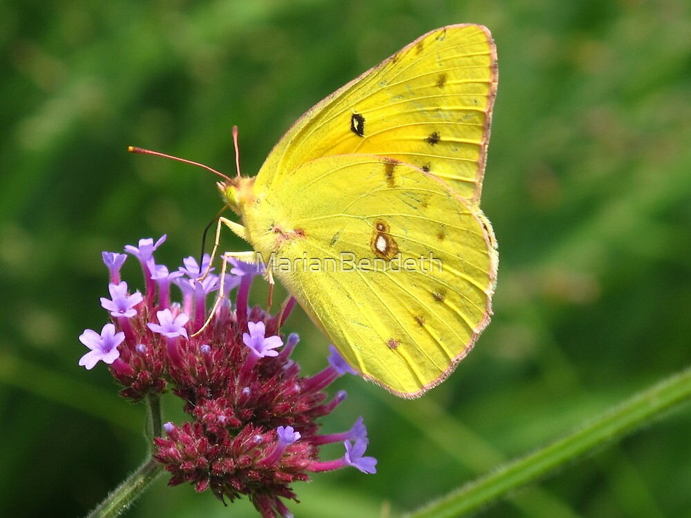 Clouded Sulphur Butterfly by MarianBendeth