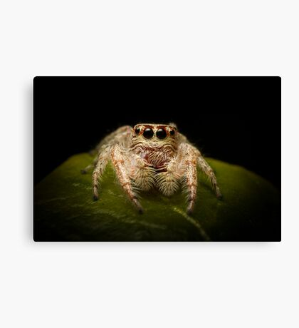(Servaea vestita) Jumping Spider Canvas Print