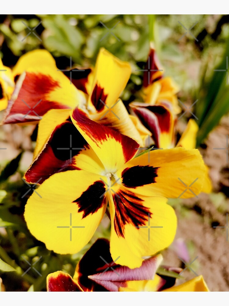 Ask me about my plants. Pansy flowers in bright colors, yellow, red as fire, photographed up close, beautiful, delicate and wonderful by CWartDesign