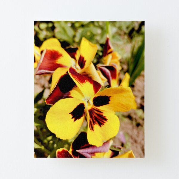 Ask me about my plants. Pansy flowers in bright colors, yellow, red as fire, photographed up close, beautiful, delicate and wonderful Canvas Mounted Print