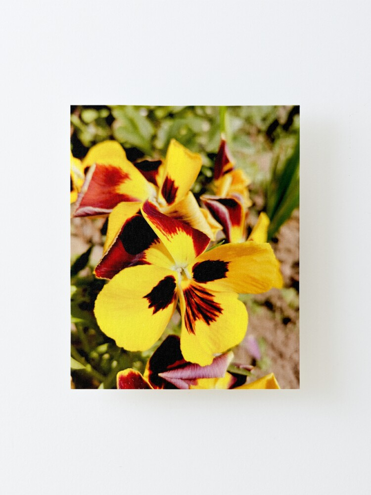 Alternate view of Ask me about my plants. Pansy flowers in bright colors, yellow, red as fire, photographed up close, beautiful, delicate and wonderful Mounted Print