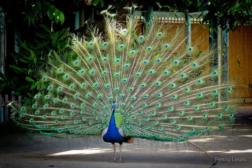 Perky Peacock by Penny Lewis
