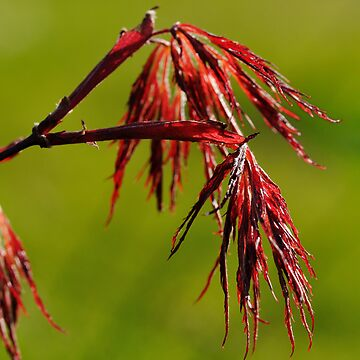 Acer Leaves by TheDabber