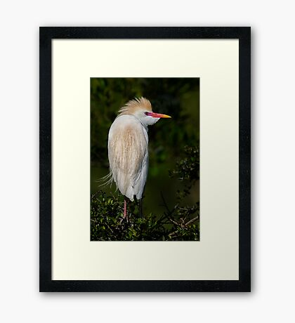 Cattle Egret profile Framed Print