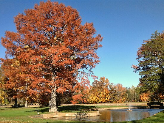 Bald Cypress Tree with Autumn color by barnsis