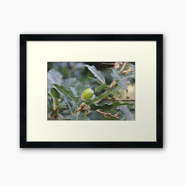 Little acorns Framed Art Print