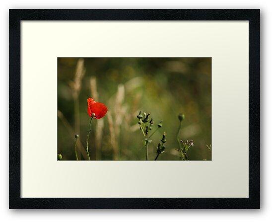 Poppy in a field by HilaryAnne