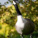 Canada Goose by Lisa  Kruchak