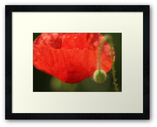 Poppy by HilaryAnne