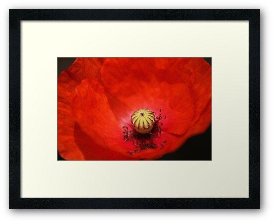 Poppy closeup by HilaryAnne