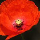 Red Poppy by HilaryAnne