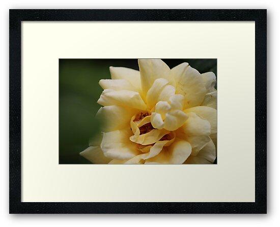 Yellow Rose by HilaryAnne