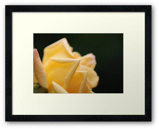 Yellow Rose2 by HilaryAnne