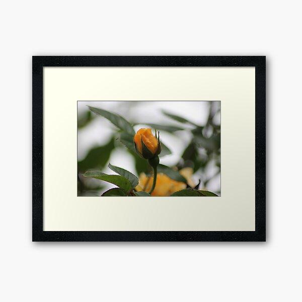 Yellow Rose3 Framed Art Print