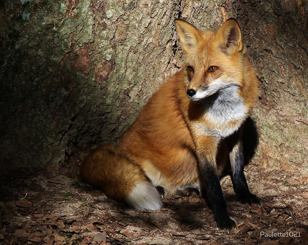 Fox in the Spot Light by Paulette1021