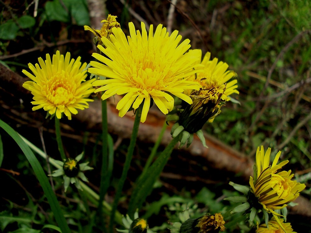 Dandelions by sonce21