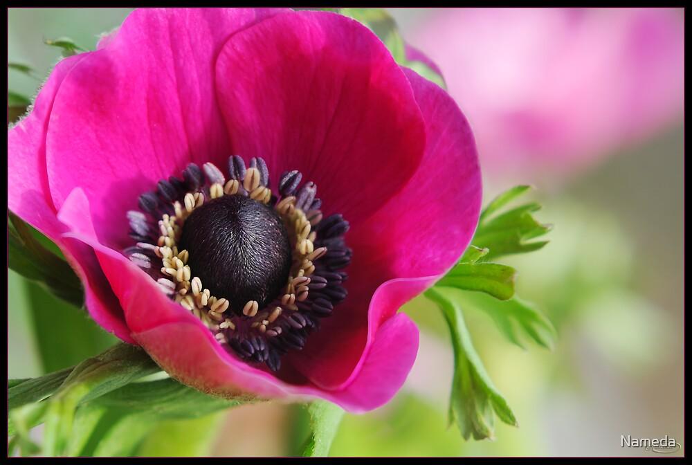 Poppy Anemone by Nameda